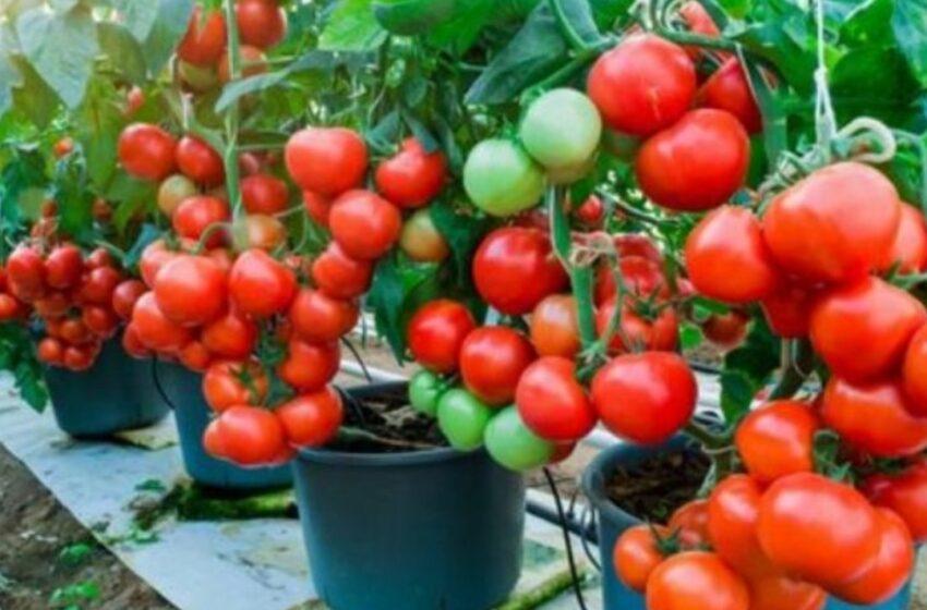 Los tomates son las hortalizas ideales para iniciar una huerta. Se cultivan muy bien en macetas y nos harán sentir orgullosos durante la cosecha.